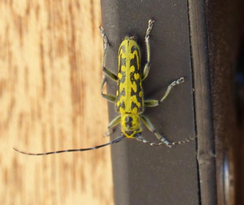 quel est cet insecte tr s jaune et un peu noir. Black Bedroom Furniture Sets. Home Design Ideas